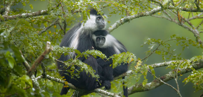 Black and White Colobus Monkeys in Rwanda
